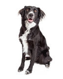 Beautiful Border Collie Mix Breed Dog Sitting. Stock Photos