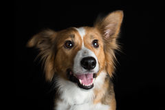A beautiful Border Collie named Shirley catching a treat. A stunning Border Collie named Shirley having her photoshoot in my studio Stock Photo