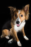 A beautiful Border Collie named Shirley catching a treat. A stunning Border Collie named Shirley having her photoshoot in my studio Stock Photography