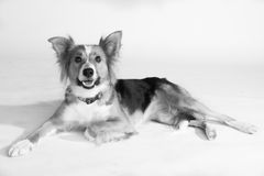 A beautiful Border Collie named Shirley. A stunning Border Collie named Shirley having her photoshoot in my studio Royalty Free Stock Image