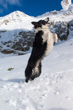 Beautiful border collie Royalty Free Stock Image