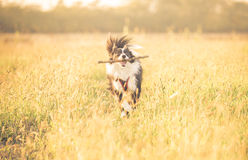 Beautiful border collie running in the grass Stock Photography