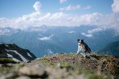 Beautiful border collie running on a mountain against the sky and clouds royalty free stock images