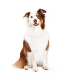 Beautiful Border Collie Sitting Stock Photo