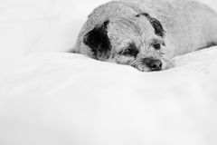 Beautiful border terrier Royalty Free Stock Images