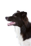 Beautiful bordercollie Royalty Free Stock Photo