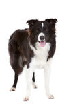 Beautiful bordercollie Royalty Free Stock Photography