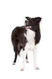 Beautiful bordercollie Royalty Free Stock Photos