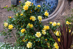 Beautiful Botanic Garden with yellow roses in Glasgow, UK, footage Stock Photos
