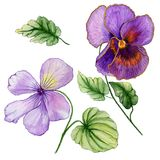 Beautiful botanic set vivid purple viola flowers and leaves. Colorful violet flower and green leaves isolated on white backgroun vector illustration