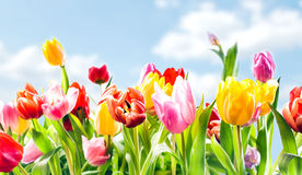 Beautiful botanical background of spring tulips Stock Image