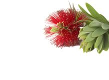 Beautiful bottlebrush flower with leaves Stock Photo