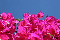 Beautiful bougainvillea Royalty Free Stock Images