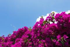 Beautiful Bougainvillea on a Blue Sky Stock Photos