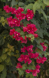 Beautiful bougainvillea branch in the shade Stock Image