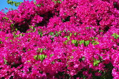 Beautiful bougainvillea Stock Photos