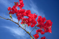 Beautiful bougainvillea flower Royalty Free Stock Images