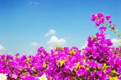 Beautiful bougainvillea flower on sunny sky Stock Photo