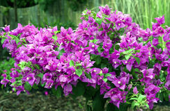 Beautiful bougainvillea flowers. Beautiful red bougainvillea flowers bloom Stock Image