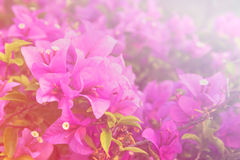 Beautiful Bougainvillea flowers background. Beautiful Bougainvillea flowers horizontal background made with color filters Stock Image