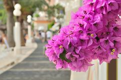 Beautiful Bougainvillea flowers stock image
