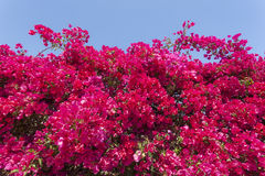 Beautiful bougainvillea flowers Royalty Free Stock Photo
