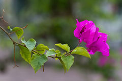 Beautiful Bougainvillea flowers in Vietnam Royalty Free Stock Photos