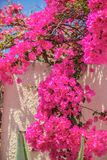 Beautiful bougainvillea on old traditional White Royalty Free Stock Image