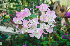 Beautiful bougainvillea paper flower in pink and white color. Bougainvillea paper flower in pink and white color Royalty Free Stock Photo