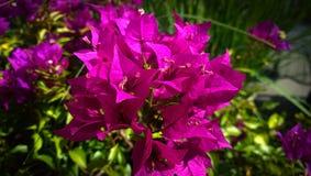Beautiful bouganvillea flowering branch in garden Royalty Free Stock Photos