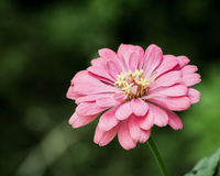 Beautiful bouquet from autumn pink chrysanthemum Stock Photography