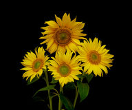 Beautiful bouquet of blooming sunflowers on a black background. Horizontal photo Royalty Free Stock Photos