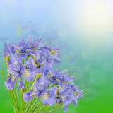 Beautiful bouquet of blue irises on the green and heavenly background Stock Photos