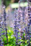 Beautiful bouquet of blue salvia lit by sunligh. Blue salvia in the garden stock images
