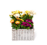 Beautiful  bouquet of colorful daisy flowers in basket isolated Royalty Free Stock Photography