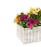 Beautiful  bouquet of colorful daisy flowers in basket isolated Royalty Free Stock Photos