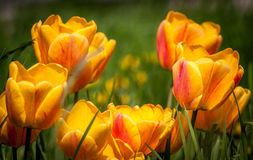 Beautiful bouquet of colorful natural tulips in habitat Royalty Free Stock Photography