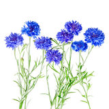 Beautiful bouquet of cornflowers  isolated on white background. Beautiful bouquet of cornflowers  isolated on white Royalty Free Stock Photography