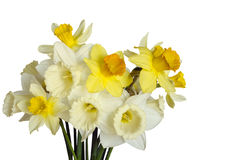 Beautiful bouquet of daffodils isolated on white Royalty Free Stock Photos