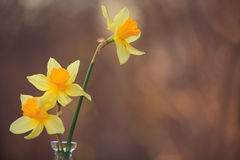Beautiful bouquet of daffodils. On the table Royalty Free Stock Photos