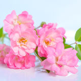 Beautiful bouquet of delicate pink rose on blue background, clos Royalty Free Stock Images