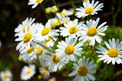 Beautiful bouquet of flowers, field daisies lit by the sun. Beautiful bouquet of flowers, field daisies, lit by the sun. A gift for your loved ones Stock Images