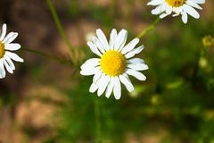 Beautiful bouquet of flowers, field daisies lit by the sun. Beautiful bouquet of flowers, field daisies, lit by the sun. A gift for your loved ones Royalty Free Stock Images