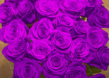 . beautiful bouquet of juicy bright lilac roses. Bright purple roses. beautiful bouquet of juicy bright lilac roses Royalty Free Stock Image