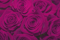 . beautiful bouquet of juicy bright lilac roses. Bright purple roses. beautiful bouquet of juicy bright lilac roses Royalty Free Stock Photography