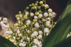 Beautiful bouquet of lilies of the valley close-up image. Selective focus Royalty Free Stock Photography