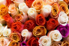 Beautiful bouquet of lots of colorful roses white red tea orange background close up.  Stock Image