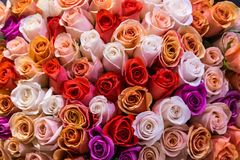 Beautiful bouquet of lots of colorful roses white red tea orange purple background close up.  Stock Photo