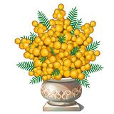 Beautiful bouquet of mimosa in pot Stock Image