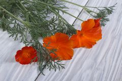 Beautiful bouquet of orange flowers eshsholtsiya Royalty Free Stock Photography